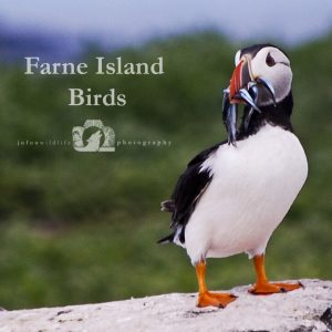 "Image of a puffin with fish it's mouth with the text ""Farne Island Birds"" beside it."