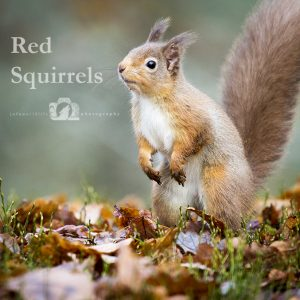 "Image of a red squirrel with the text ""Red Squirrels"" beside it."
