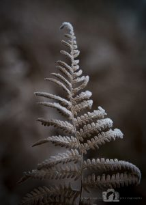 A photo of a fern leaf in winter which is brown with a light dusting of frost
