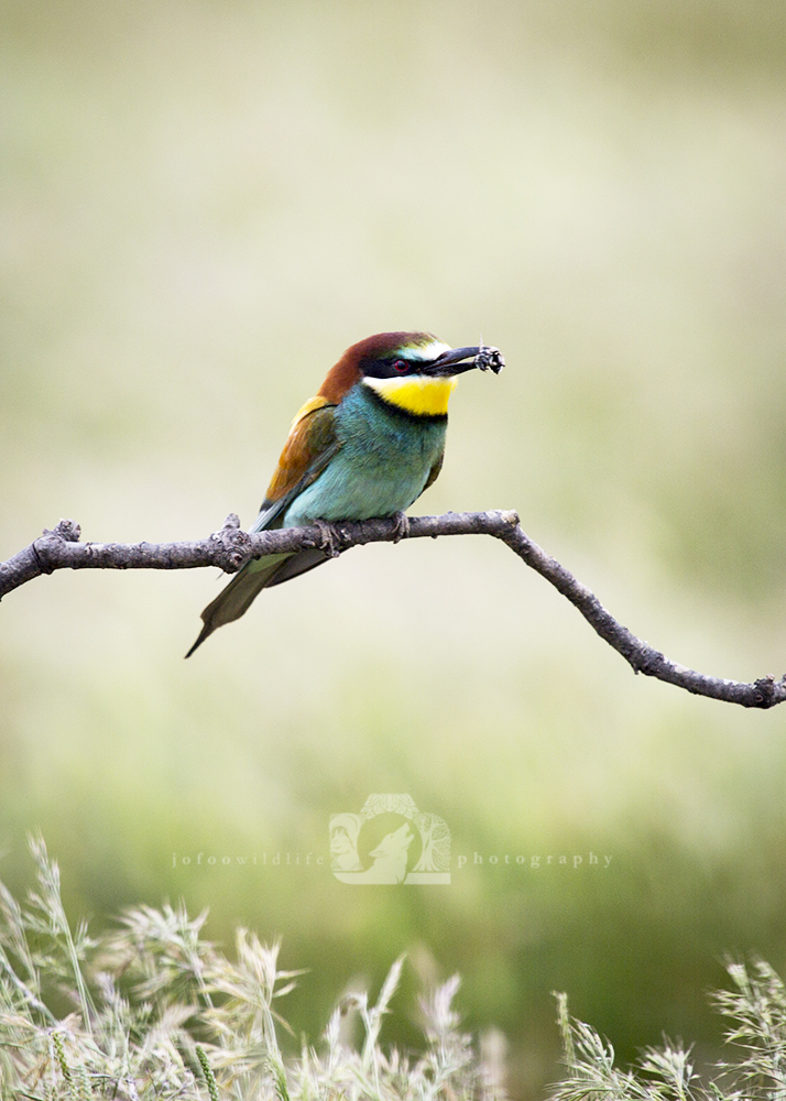 European Bee Eater (brightly coloured small bird) on a tree branch with a bee in it's mouth.