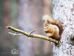 2014-11-25-003-Jo-Foo-Wildlife-Photography-Northshots-Red-Squirrels WR