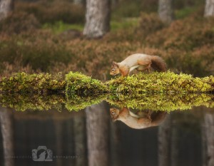 2014-11-25-005-Jo-Foo-Wildlife-Photography-Northshots-Red-Squirrels WR