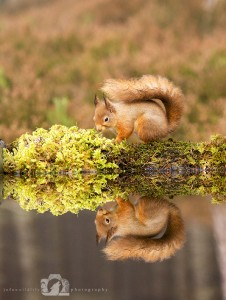 2014-11-25-006-Jo-Foo-Wildlife-Photography-Northshots-Red-Squirrels WR