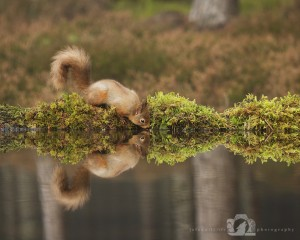 2014-11-25-010-Jo-Foo-Wildlife-Photography-Northshots-Red-Squirrels WR