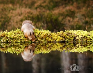 2014-11-25-014-Jo-Foo-Wildlife-Photography-Northshots-Red-Squirrels WR