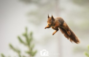 2014-11-25-016-Jo-Foo-Wildlife-Photography-Northshots-Red-Squirrels WR