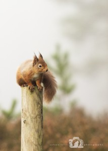 2014-11-25-017-Jo-Foo-Wildlife-Photography-Northshots-Red-Squirrels WR