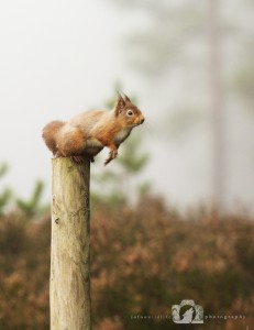 2014-11-25-018-Jo-Foo-Wildlife-Photography-Northshots-Red-Squirrels WR