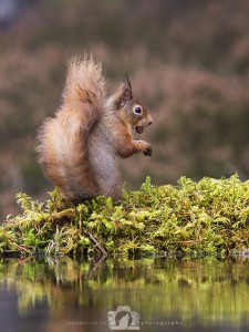 2014-11-25-019-Jo-Foo-Wildlife-Photography-Northshots-Red-Squirrels WR