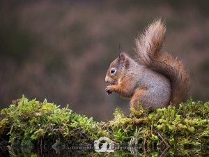 2014-11-25-022-Jo-Foo-Wildlife-Photography-Northshots-Red-Squirrels WR