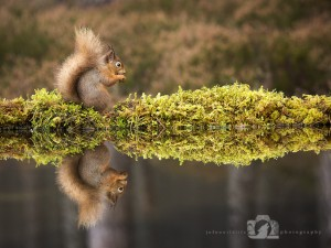 2014-11-25-025-Jo-Foo-Wildlife-Photography-Northshots-Red-Squirrels contrast WR
