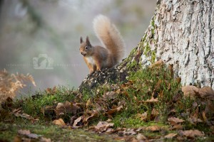 2015-11-25-001-Jo-Foo-Wildlife-Photography-Mammal-Red-Squirrel WR