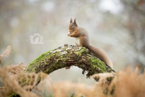 2015-11-25-012-Jo-Foo-Wildlife-Photography-Mammal-Red-Squirrel WR