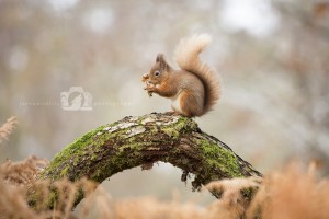 2015-11-25-013-Jo-Foo-Wildlife-Photography-Mammal-Red-Squirrel WR