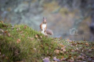 2015-11-25-025-Jo-Foo-Wildlife-Photography-Mammal-Red-Squirrel WR