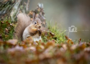 2015-11-25-032-Jo-Foo-Wildlife-Photography-Mammal-Red-Squirrel WR