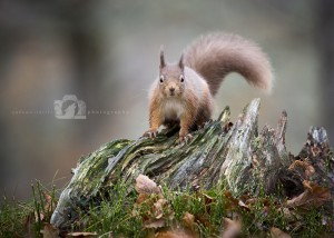 2015-11-25-034-Jo-Foo-Wildlife-Photography-Mammal-Red-Squirrel WR