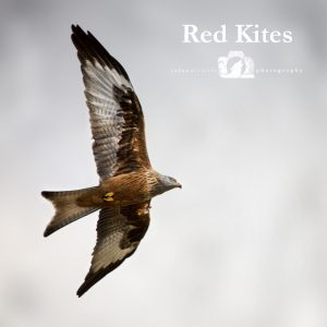 "Image of a Red Kite flying with the text ""Red Kites"" beside it."