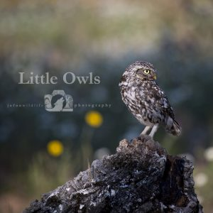 "Image of a little owl with the text ""Little Owls"" beside it."