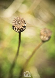 A photo of an old poppy head with very shallow depth of field and green background