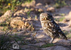 2016-05-22-001-JoFoo-Wildlife-Photography-Birds-European-Little-Owl-Spain WR