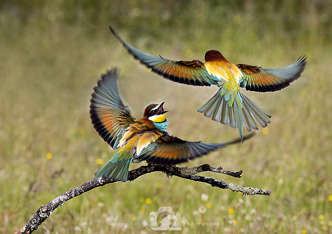 Two bright birds (European Bee Eaters). On is on a small branch with it's wings spread and beak open, responding to another as it flies overhead.