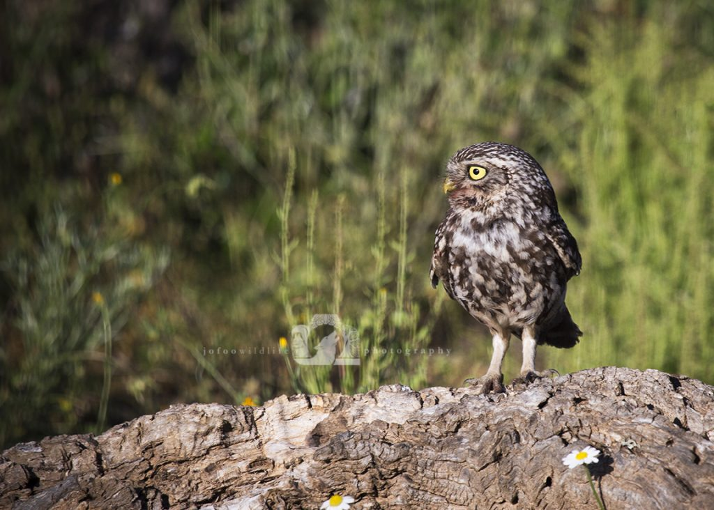 A small owl standing on a tree root ball.
