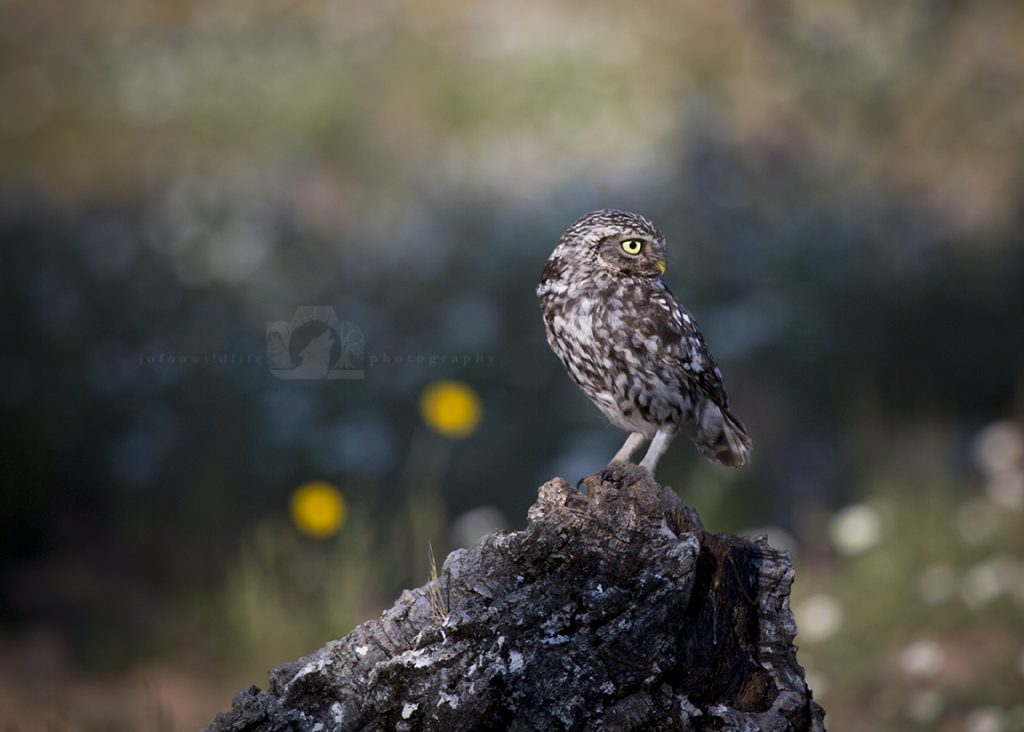 A small owl sits on a wooden tree stump looking over it's shoulder. The background is light green.