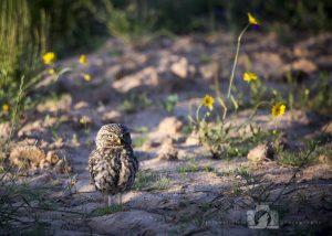 2016-05-22-004-JoFoo-Wildlife-Photography-Birds-European-Little-Owl-Spain WR