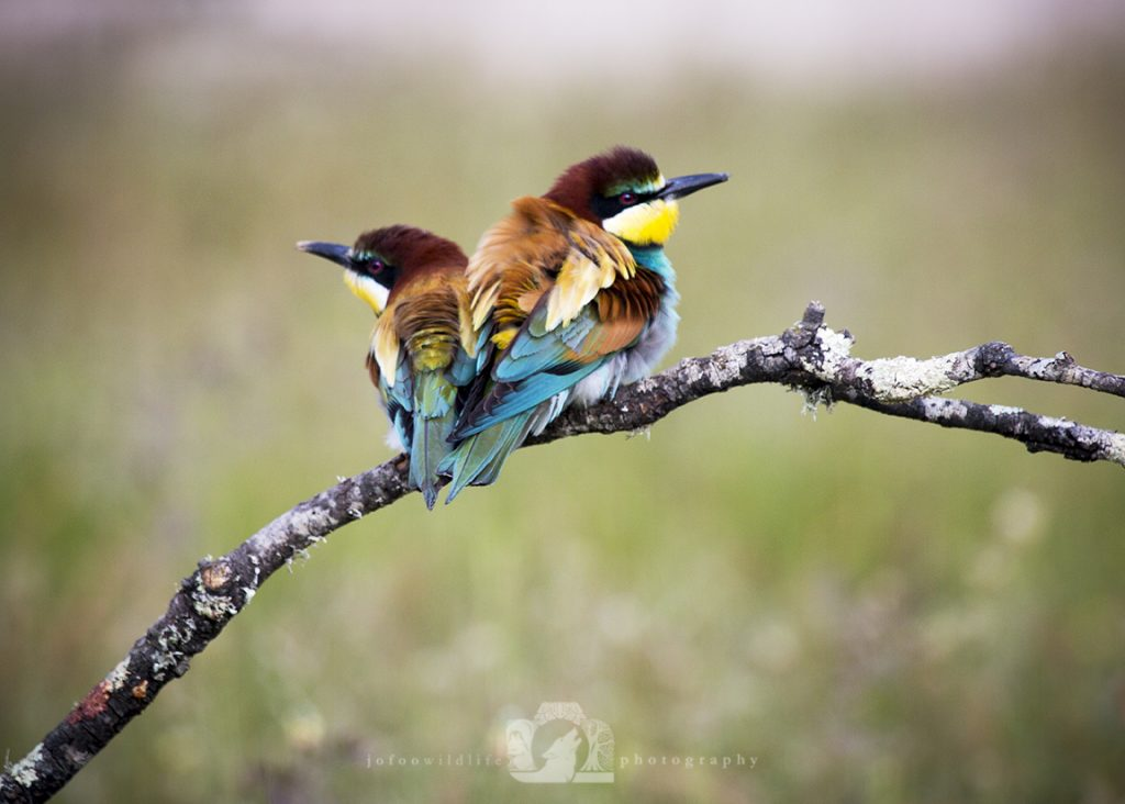 Two bright birds (European Bee Eaters) sitting back to back on a small tree branch. Their feathers are ruffled.