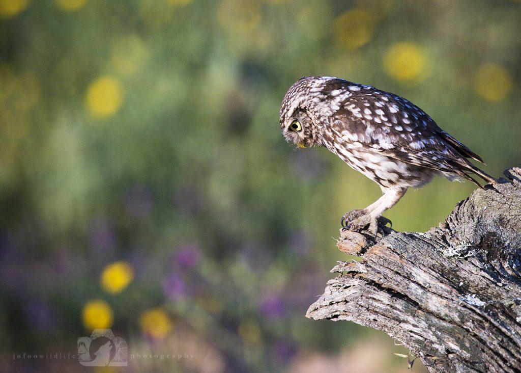 Little Owl Looking for Dinner
