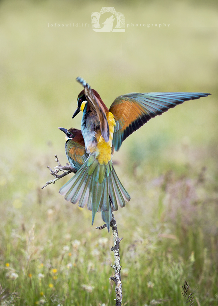 Two brightly coloured birds (European Bee Eaters). One on a small branch and the other is on it's back with it's wings spreads part of a mating behaviour